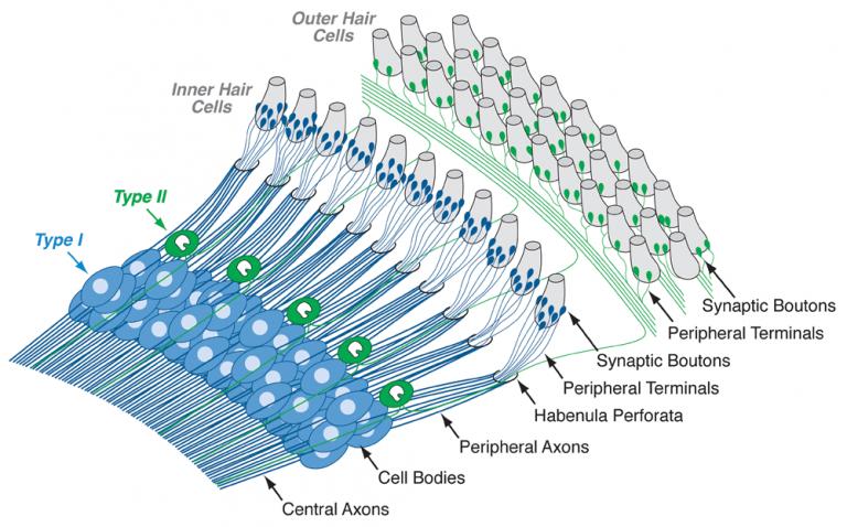 درون گوش داخلی دو نوع سلول حساس وجود دارد که به نام سلولهای مویی داخلی (Inner Hair Cells, IHCs) و سلولهای مویی خارجی (Outer Hair Cells, OHCs) هستند