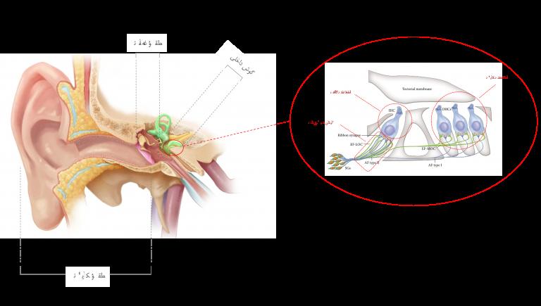 گوش سه قسمت دارد: گوش خارجی (لاله و مجرای گوش)، گوش میانی (پرده ی گوش و سه استخوانچه ی چکشی، سندانی و رکابی) و گوش داخلی (حلزون و عصب شنوایی). درون حلزون، سلول مویی داخلی وجود دارد